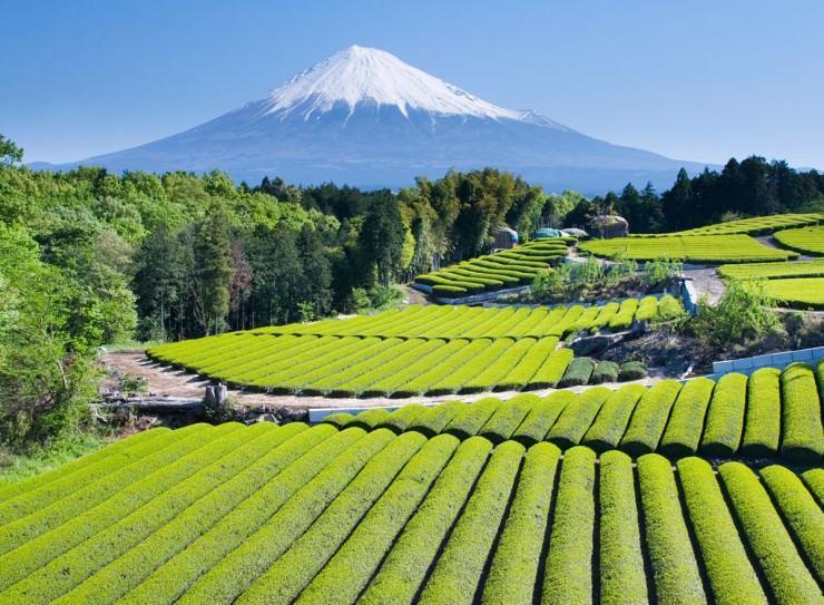 بازدید از مناطق چای و شرکت در مراسم چای ژاپنی