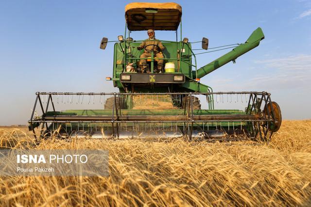 کاهش 17 درصدی کشت گندم در سال زراعی جدید