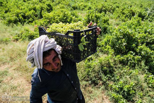 برداشت انگور از باغات استان قزوین شروع شد