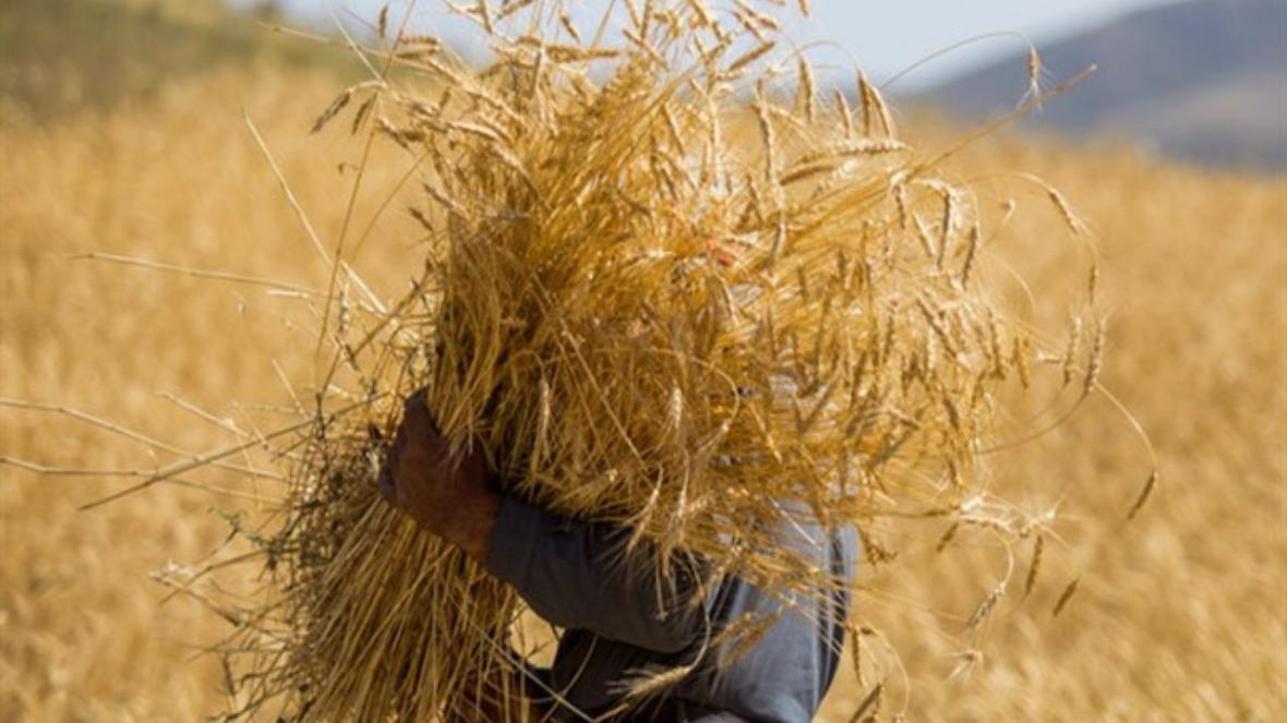 پیش بینی فراوری 14 میلیون تن گندم در کشور