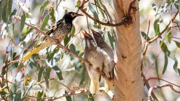پرنده ای که آوازش را فراموش کرده؛ آواز پرندگان دیگر را می خواند
